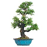 Brussel's Chinese Elm Specimen Bonsai