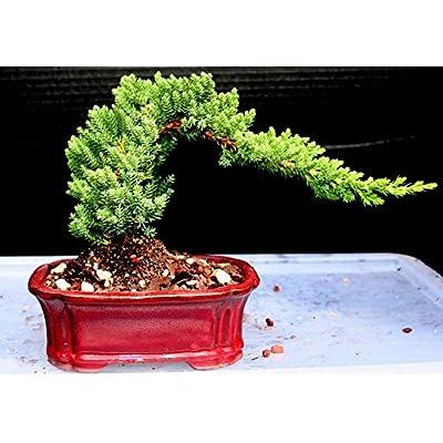 Juniper Bonsai Tree Small 5yrs Old: Kitchen & Dining