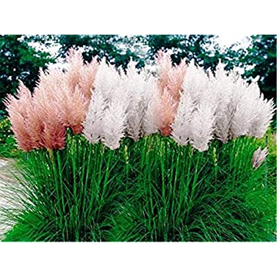Pampas Grass-Mix (Cortaderia selloana) - Fast Growing Ornamental Grass Seeds-Perennial Zones 7-10 (2000 Seeds) by AchmadAnam : Garden & Outdoor