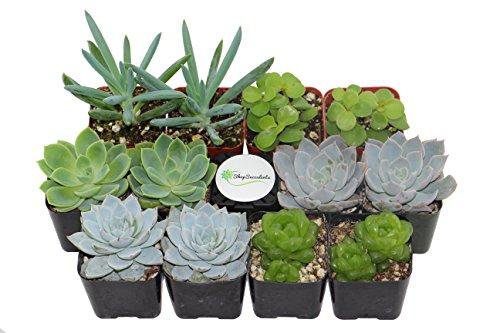 Shop Succulents Green Succulent Collection