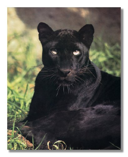 Up Panther Black Close (Black Panther Cat Laying in Grass Close Up Photo Wall Picture 8x10 Art Print)