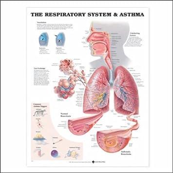 Amazon.com: The Respiratory System (lungs, trachea anatomy ...
