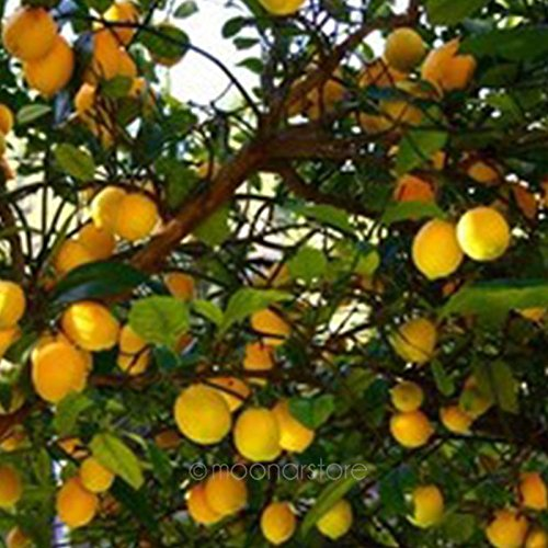 1 Bag Dwarf Lemon Tree Seeds, Natural Fragrant Indoor Outdoor Fruit Tree, for DIY Home Garden Bonsai Decor