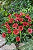 ARIZONA SUN GAILLARDIA *Red* -Dwarf- 20-Perennial Seeds