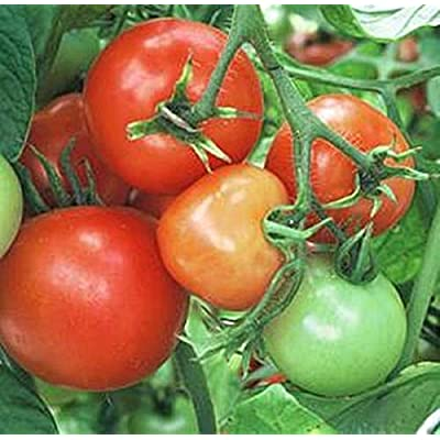 Sub-Arctic Plenty Tomato Seeds : Garden & Outdoor