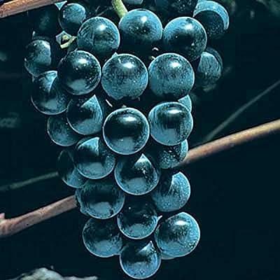 1 Plant Blue Venus Grape 2 Gallon Vine Plants Gardening Outdoor tktreas : Garden & Outdoor