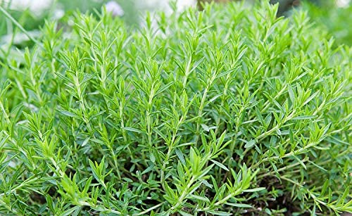 A Collection of 3 French Tarragon in 9cm pots
