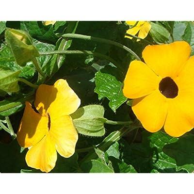 Perennial Climbing Plant Yellow Thunbergia Alata (Black-eyed Susan Vine) 20 Seeds : Garden & Outdoor