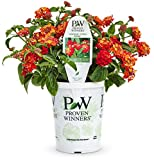 Luscious Citrus Blend (Lantana) Live Plant, Red, Orange, and Yellow Flowers, 4.25 in. Grande, 4-pack