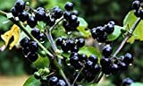 20 Wonderberry Seeds (Sunberry) -Very easy to grow