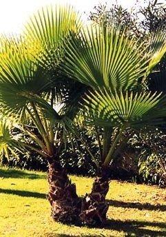 Tropica Washingtonia Fächerpalme