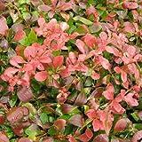 Barberry 'Rosy Glow' - Size: 2 Gallon (Berberis Rosy Glow)