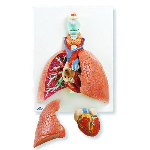 3B Scientific VC243 5 Part Lung Model with Larynx, 4.7