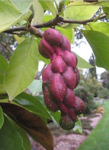 Magnolia Yulan (New Yulan Magnolia, Magnolia denudata, Tree 5 Seeds (Showy Fragrant Flowers))