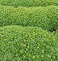 David's Garden Seeds Herb Basil Spicy Bush D907 (Green) 1000 Open Pollinated Seeds