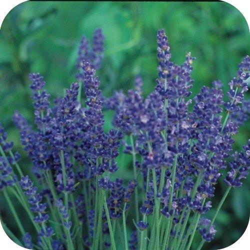 Lavanda Lavendula semi di fiore//perenne 60