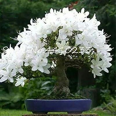 Kasuki 100% True Adenium Obesum Bonsai Exotic Desert Rose Flowers Balcony Desert-Rose Bonsai Multicolor Petals Succulents Tree 5 Pcs - (Color: r): Garden & Outdoor