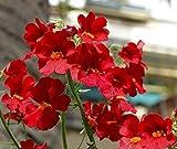Nemesia Spicy Real Red seeds – Nemesia strumosa