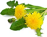 1000 Dandelion Seeds Big Flower Taraxacum officinale