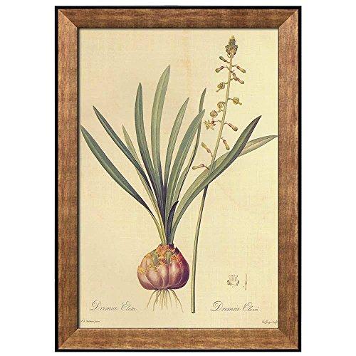 Scientific Illustration of a Flower Inside of a Beautiful Frame Drimia Elata by Pierre Joseph Redoute Framed Art