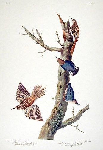Brown Creeper, Californian Nuthatch.''Birds of America'' (Amsterdam Edition) (Pl. 415) by