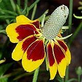 Mexican Hat Wild Flower Garden Seeds - 1 Oz - Perennial Wildflower Gardening Seeds - ratibida columnaris Forma pulcherrima