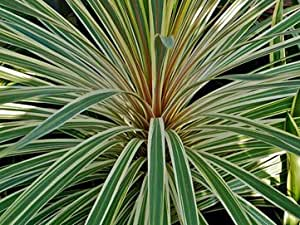 Cordyline Australis Variegata or Cabbage Tree