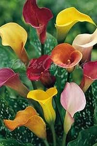 50 Bulbos de Calas de Colores (Zantedeschia) Mezcla