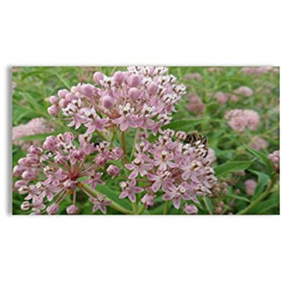 Swamp Milkweed for Monarchs (Asclepias incarnata), Seed Packet, True Native Seed : Garden & Outdoor