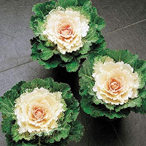 White Cabbage - Kale Seeds Flowering Kale Songbird White 50 Seeds Ornamental Cabbage