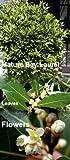 Ohio Grown Sweet Bay Laurel Herb - Laurus