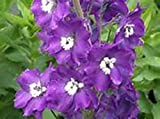 Delphinium Pacific Giants - KING ARTHUR -(6) Live Plants - Violet/White Bee - Perennial Flower Plants - Attracts Bees & Butterflies - Plants