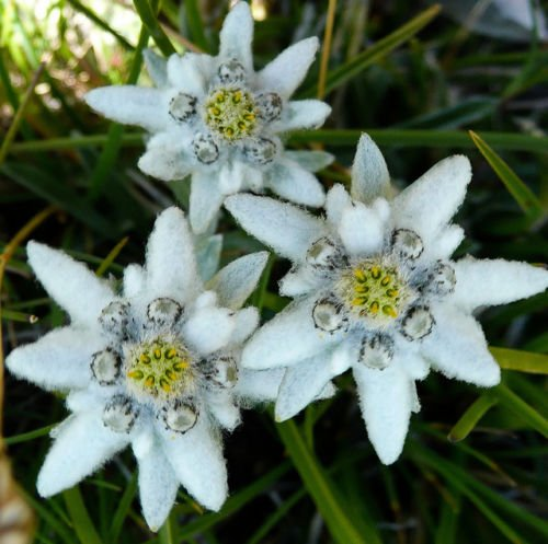 "Edelweiss ~White~""Leontopodium""Alpine Flower"" 25+Perennial Ground Cover-Seeds"