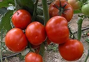 Las semillas de tomate rojo Solaris de cultivo ecológico de la herencia no GMO