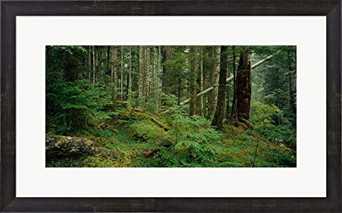 (HOH Rainforest, Olympic National Forest, Washington State by Panoramic Images Framed Art Print Wall Picture, Espresso Brown Frame, 27 x 17 inches)