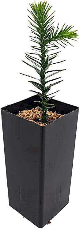 Amazon Com Rare Exotic Monkey Puzzle Tree Araucaria Araucana 2 X4 Pot Indoors Out Garden Outdoor