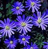(5) Anemone Blanda Blue Shades, Beautiful Flowers, Blooming Sized Bulbs, Easy to grow