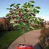 Dwarf Black Cherry Tree 15 Seeds Cherry Fruit