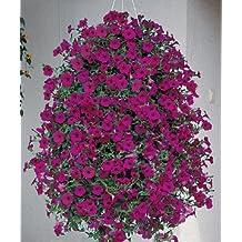 Petunia-Spreading Wave Purple Classic 100 seeds