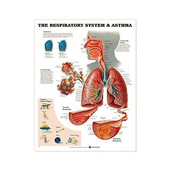 Amazon.com: Sistema respiratorio y Asma Gráfico: Industrial ...