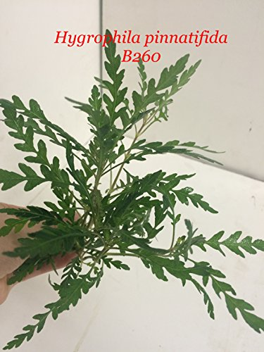 Hygrophila pinnatifida - Bundle Plant B260 - Buy 2 Get 1 FREE