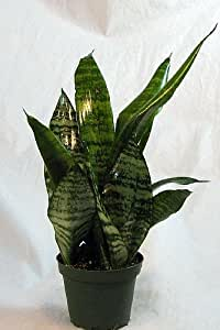 "Snake Plant, Mother-In-Law's Tongue - Sanseveria - 4"" Pot"
