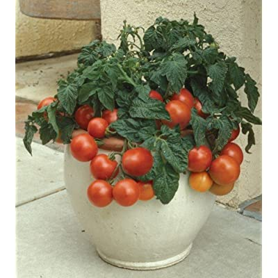 Red Climbing Tomato 'Tumbling Tom Red' (Lycopersicon Esculentum Mill.) Vegetable Plant Seeds, Medium Early : Garden & Outdoor