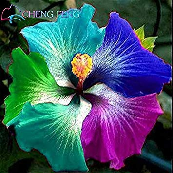 100 Pcs Giant Rainbow Hibiscus Flower Seeds Chinese Diy Plant Hibiscus Seeds Best Gift For Your Kids Easy Grow Home Garden Seed ()