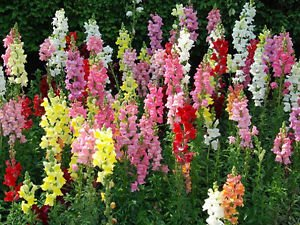 Flowers-GIANT-SNAPDRAGON-TETRA-MIX-1000-SEEDS-Mixed-Colors-24-034-30-034-Tall Flowers-GIANT-SNAPDRAGON-TETRA-MIX-1000-SEEDS-Mixed-Colors-24-034-30-034-Tall Have one to sell? Sell now Flowers✿GIANT (Snapdragon Mix)