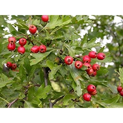 New Single Seed English Hawthorn, Crataegus monogyna, Tree 20 Seeds (Showy, Hardy) : Garden & Outdoor