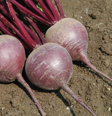 David's Garden Seeds Beet Merlin D2758PE (Purple) 200 Organic Hybrid Seeds
