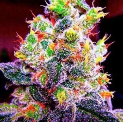 Weed Seeds Bank - 50pcs Fruity Pebbles Feminized Marijuana Seeds, Marijuana for Growing Female Plant Ornament Herbs (Best Indoor Cannabis Strains For Beginners)