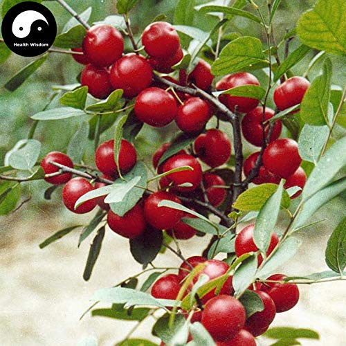 Buy Dwarf Fruit Trees - Fruits Infusant Bonsai Tree Flowering Buy Dwarf Cherry Fruit Tree Semente 60pcs Plant Cerasus Humilis for Calcium Fruit