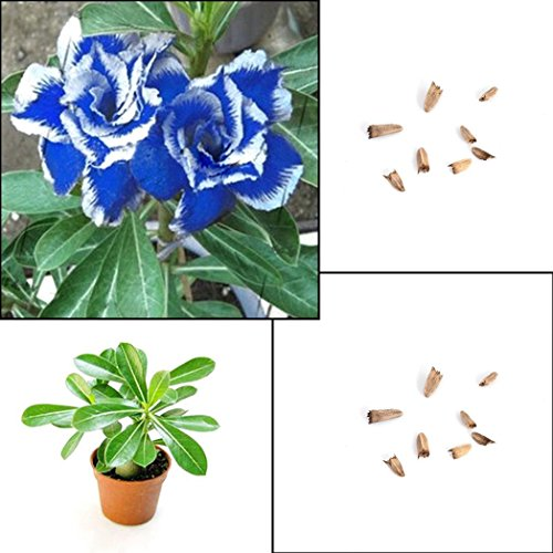 Afco 5Pcs Blue with White Side Desert Rose Flower Seeds Home Garden Plant Bonsai Decoration ()